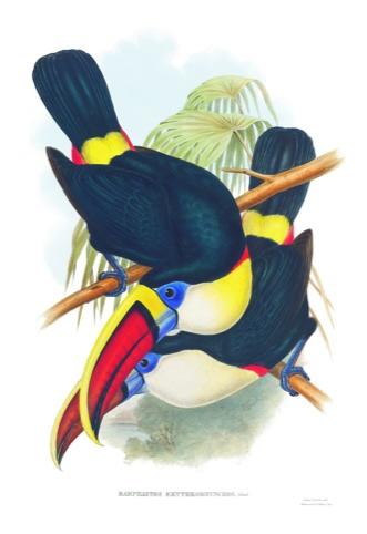 classic toucans