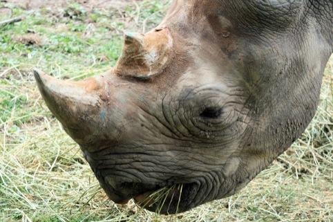 a non-celebrity rhino