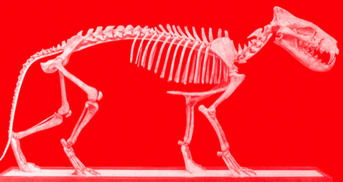 The skeleton of a Entelodont, or Terminator Pig