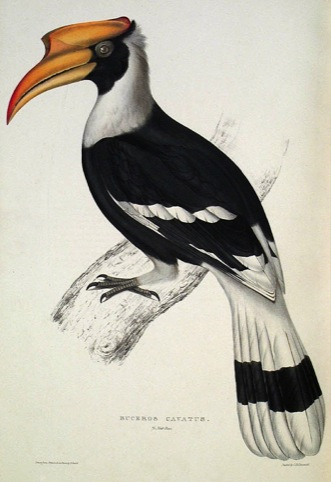Buceros Cavetos, by Elizabeth Gould