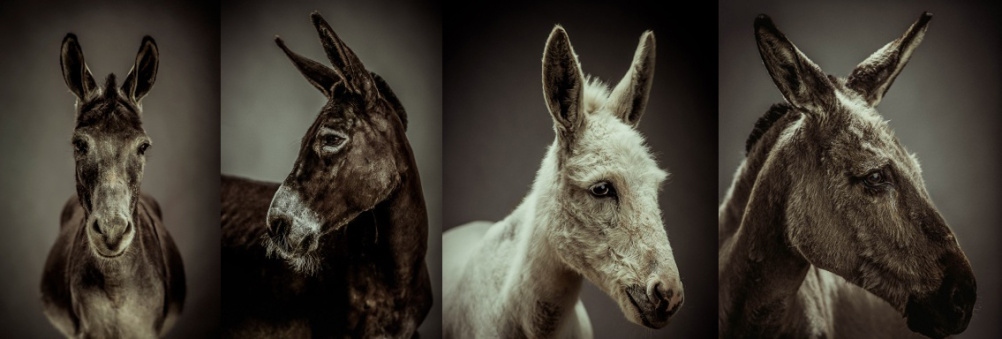Donkey photographs by Jonathan Oakes