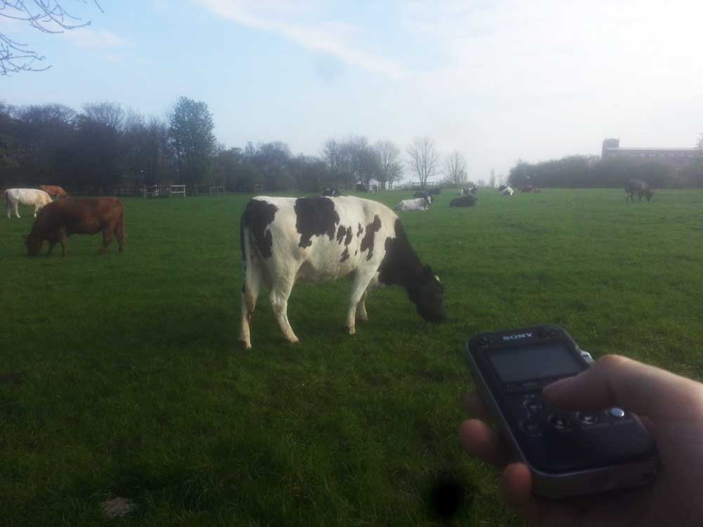 Recording cows on the Town Moor for use in the project