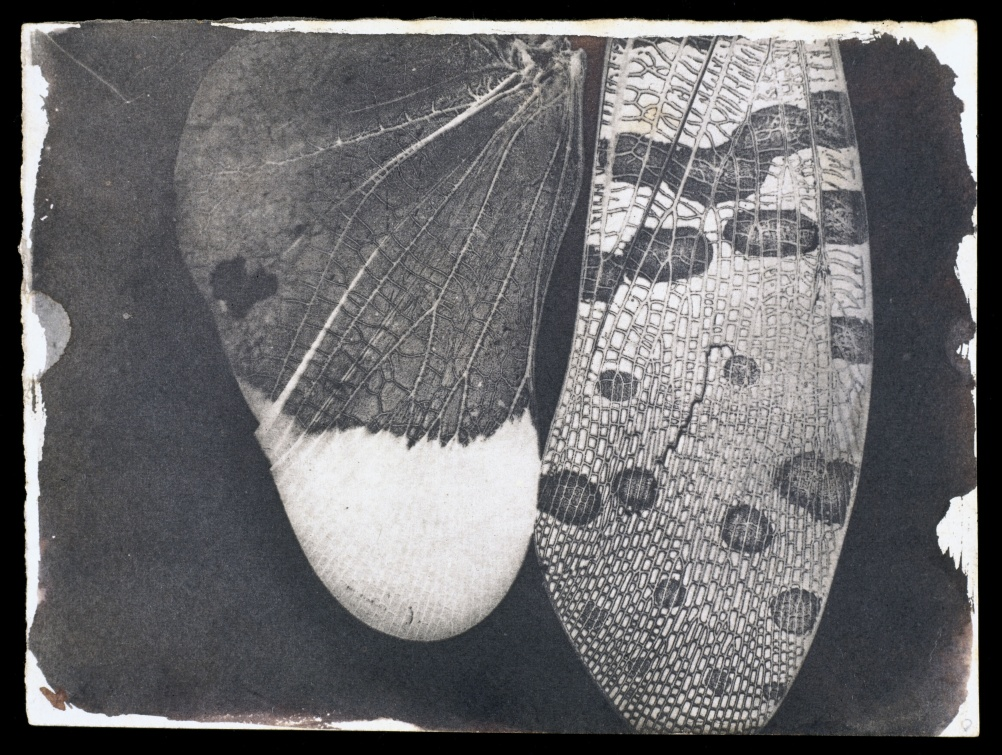 Insect wings, c.1840. William Henry Fox Talbot © National Media Museum  SSPL