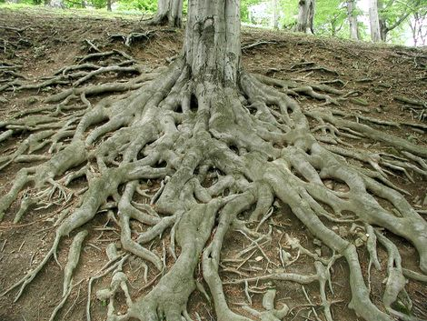 Roots of a big tree