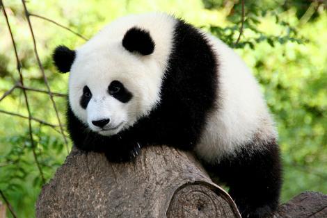 Panda on a rock