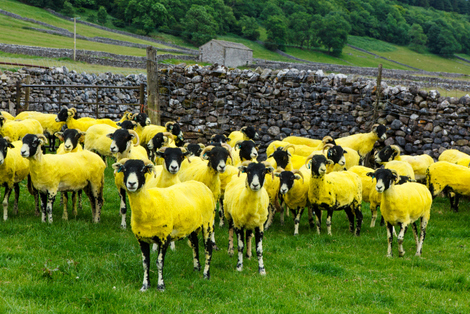 le tour - yellow sheep