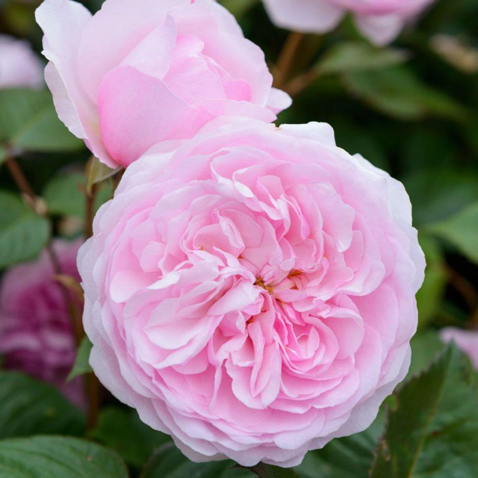 plants for traditional gardens olivia rose austin