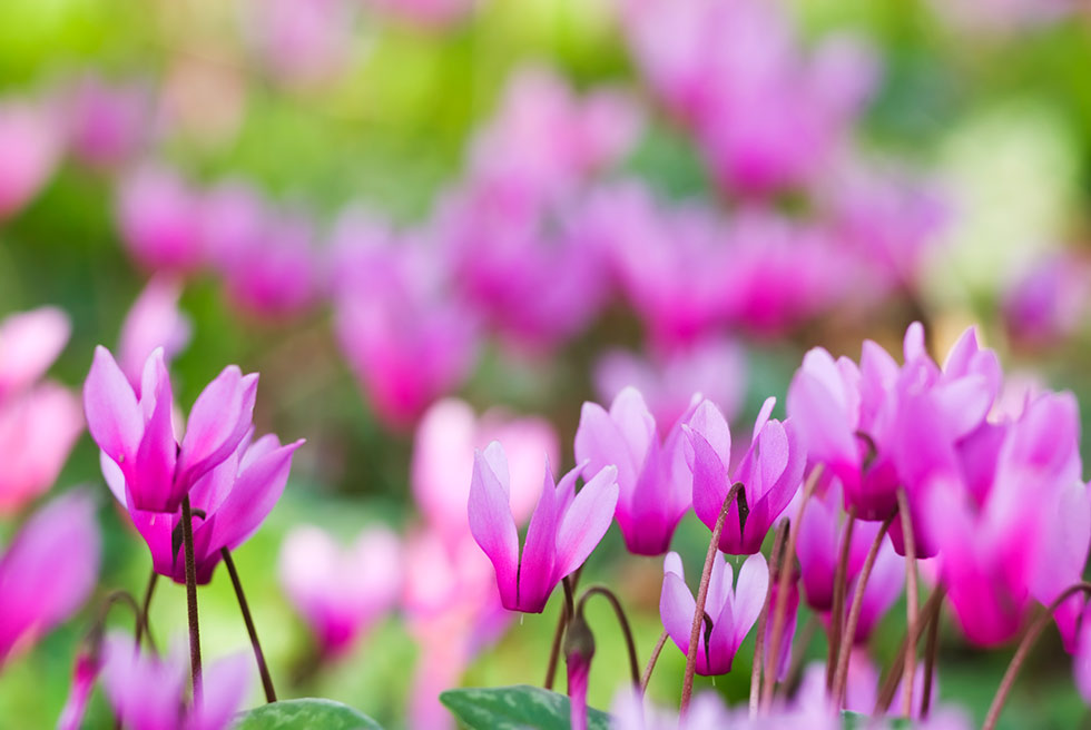 plants for traditional gardening cyclamen persicum