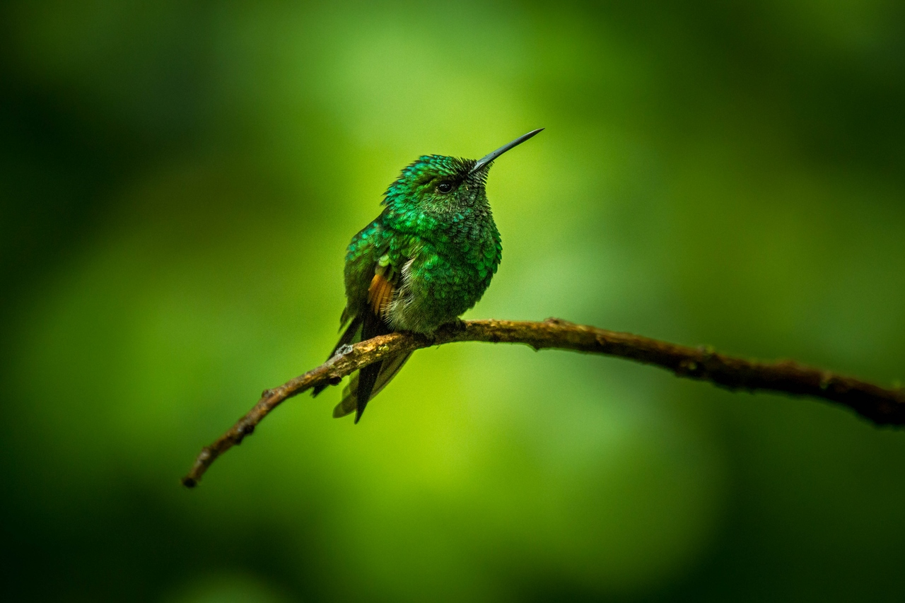 Kolibřík páskoocasý