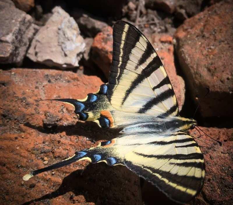 Одного з найбільших європейських метеликів виявили на заповідних територіях Хмельниччини