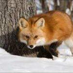 На Волині мисливці повісили вбиту лисицю на дереві. Фото 18+