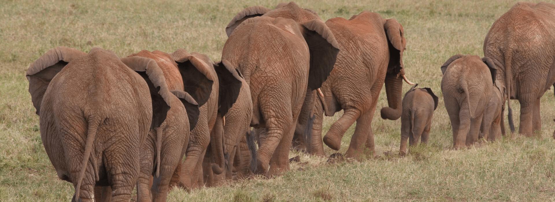 Kudde olifanten in een lijn