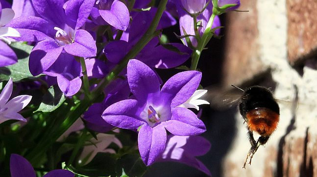 BIOLOGISK MANGFOLD: Også bier trives godt i Myntgata 2, etter at Bymiljøetaten satte deres favorittblomster ut i gårdsrommet.