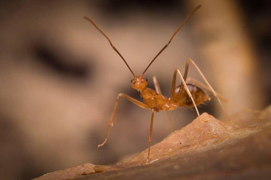 В Австралии нашествие желтых опасных муравьев, которые выделяют опасную кислоту