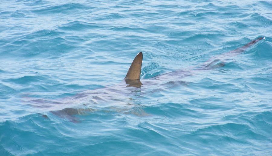 Четырехлапый телохранитель: В Австралии собака бросилась на акулу, чтобы защитить хозяина (ВИДЕО)
