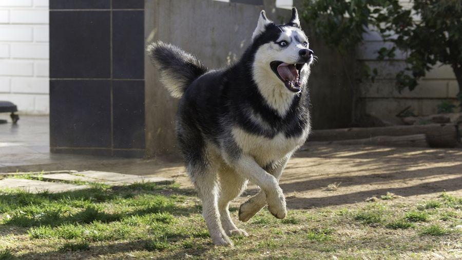 Кому знаряддя праці, а кому безкоштовний атракціон: господарі зняли свою собаку, що катається в бетономішалці (ВІДЕО)