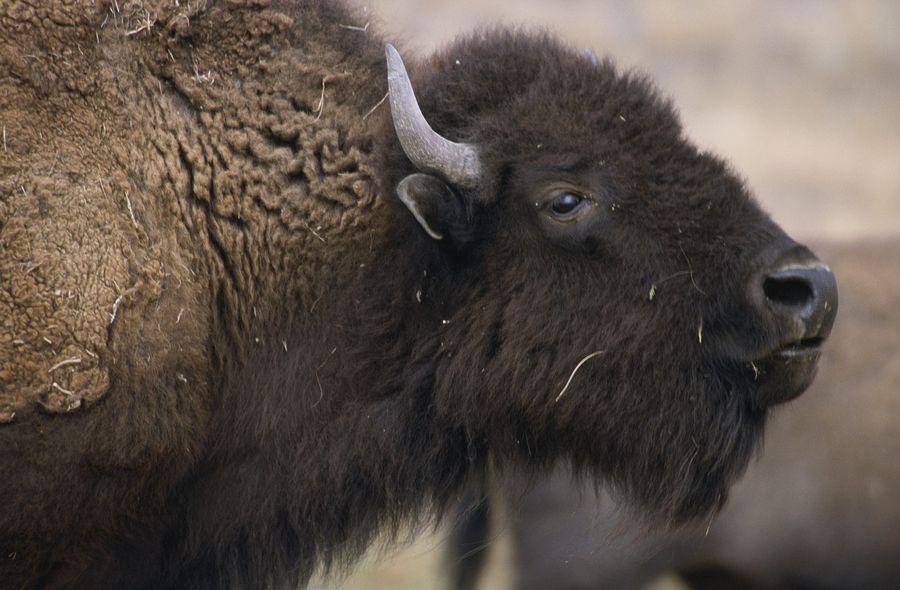 «О, тепленькая пошла»: бизон целенаправленно пришел к гейзеру, чтобы принять ванну (ВИДЕО)