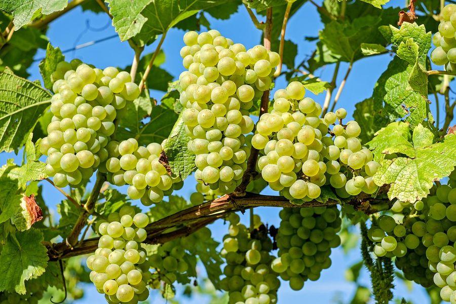Медики розповіли про користь винограду для серця