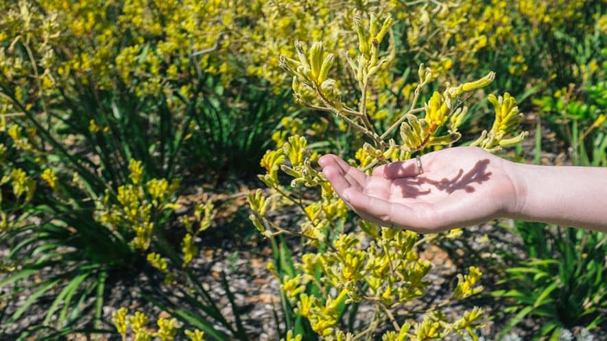Hand, die unter eine Heilpflanze gehalten wird