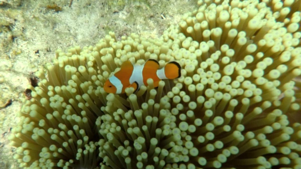 Clownfisch in Anemonen