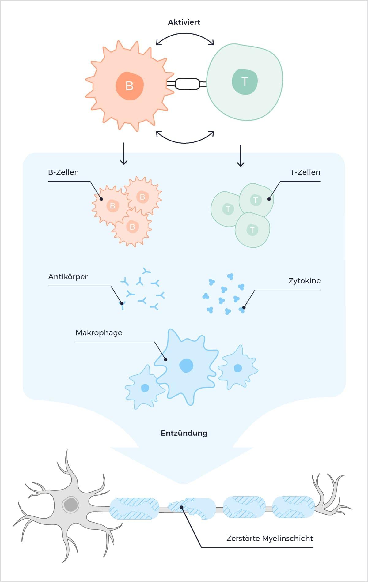 B-Zellen