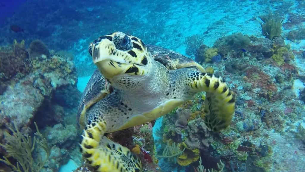 cozumel turtle