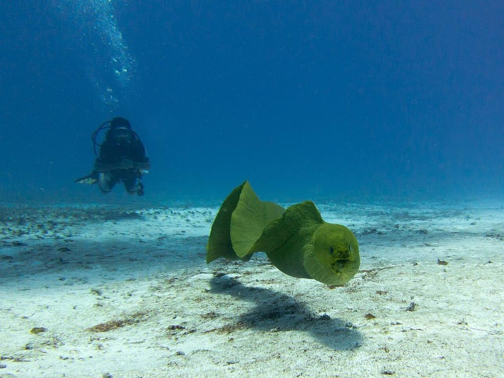 divers and green moray eel