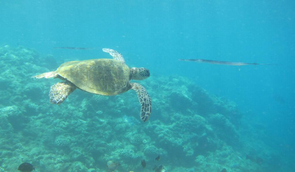 Turtle in Kauai