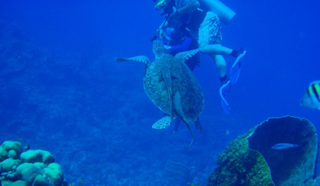sea turtle and diver