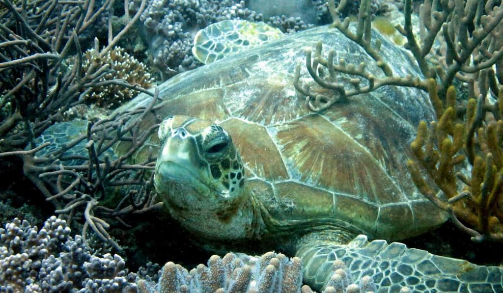 Heron Island turtle