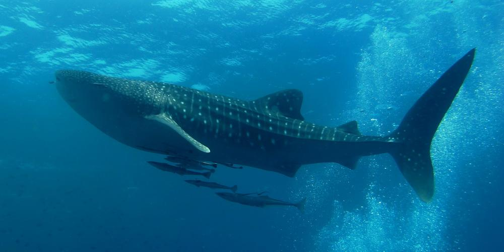 whale shark similan islands