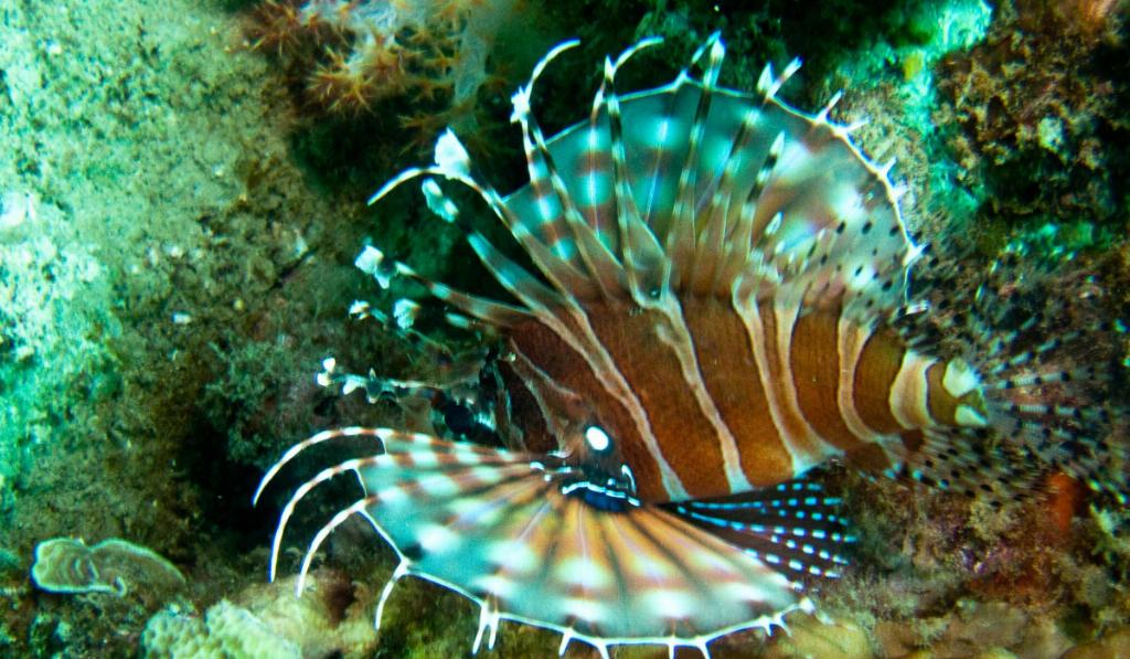 lionfish vietnam diving