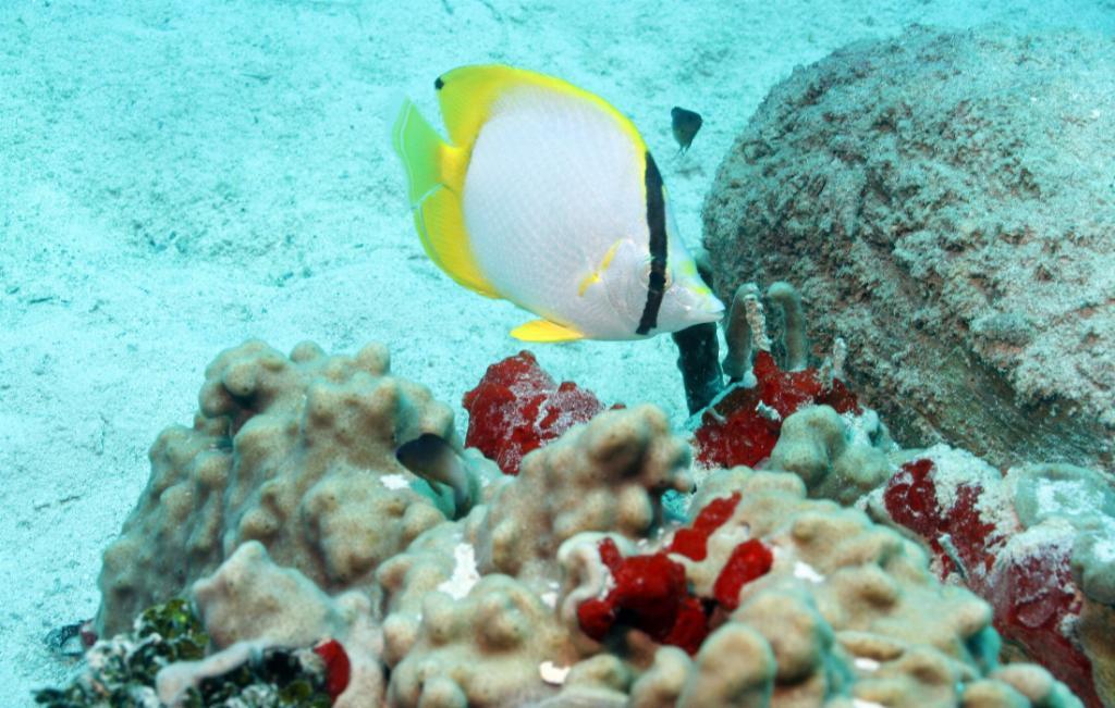 utila butterflyfish