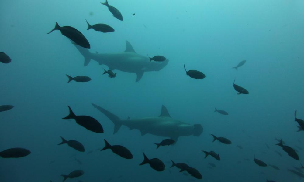 galapagos diving with sharks