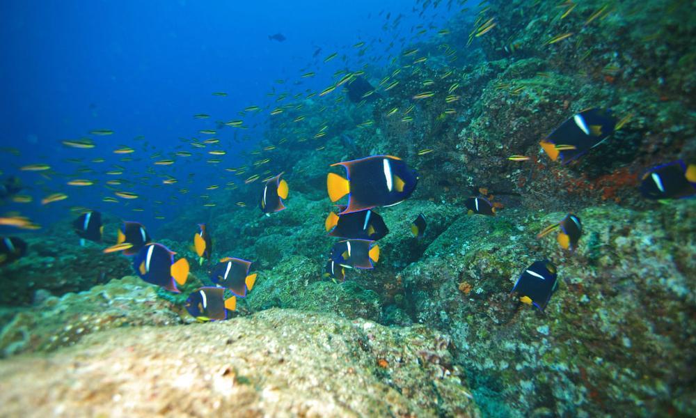 angelfish coiba island diving