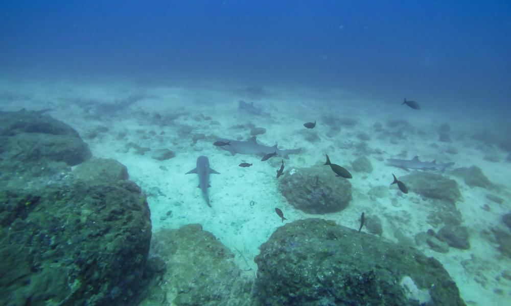 sharks coiba island