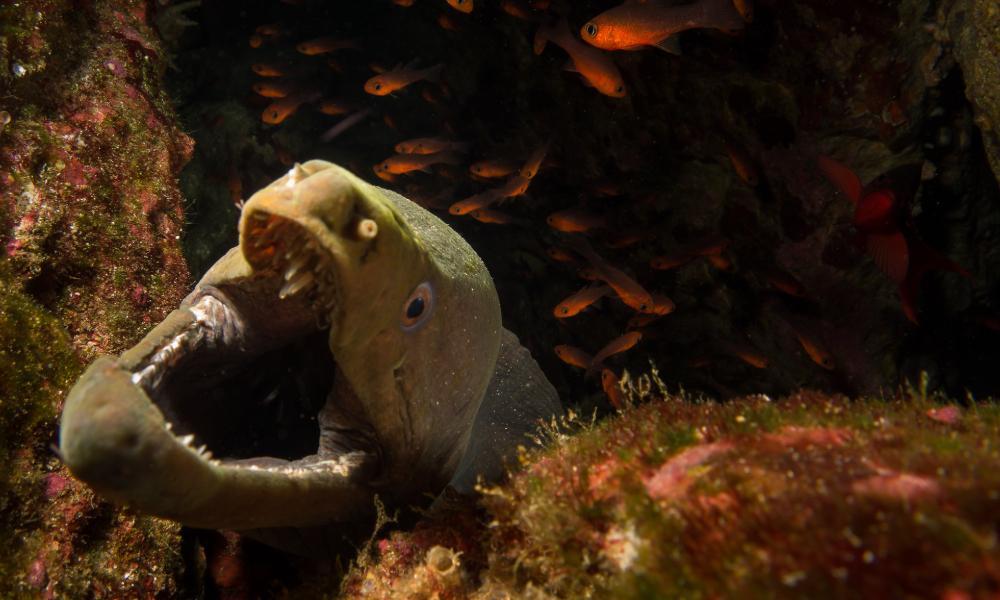 cocos island moray eel