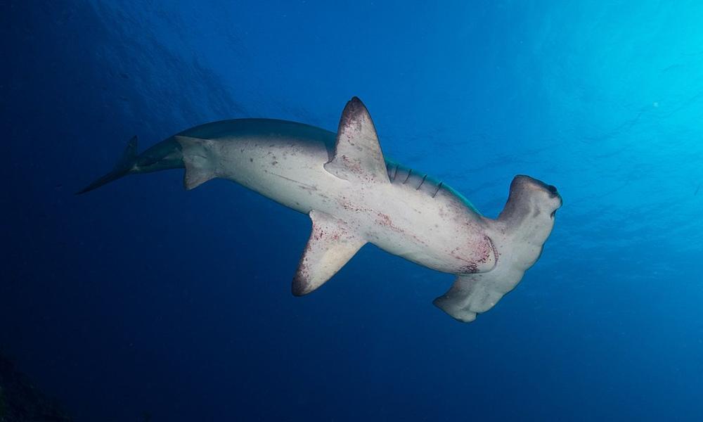 cocos island hammerhead shark