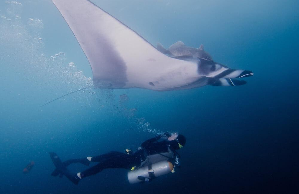 scuba diver and manta ray in socorro islands