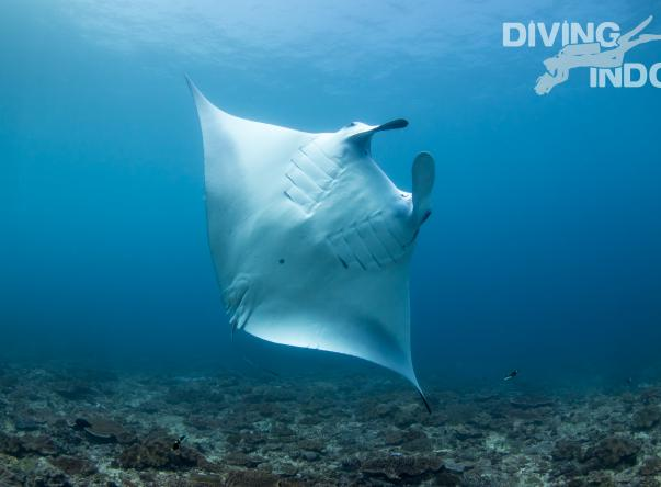 Diving Indo Picture