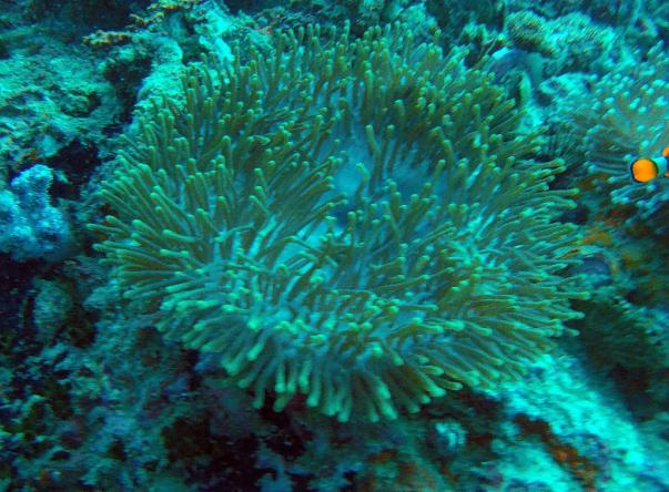 Anemone Reef's Imagem