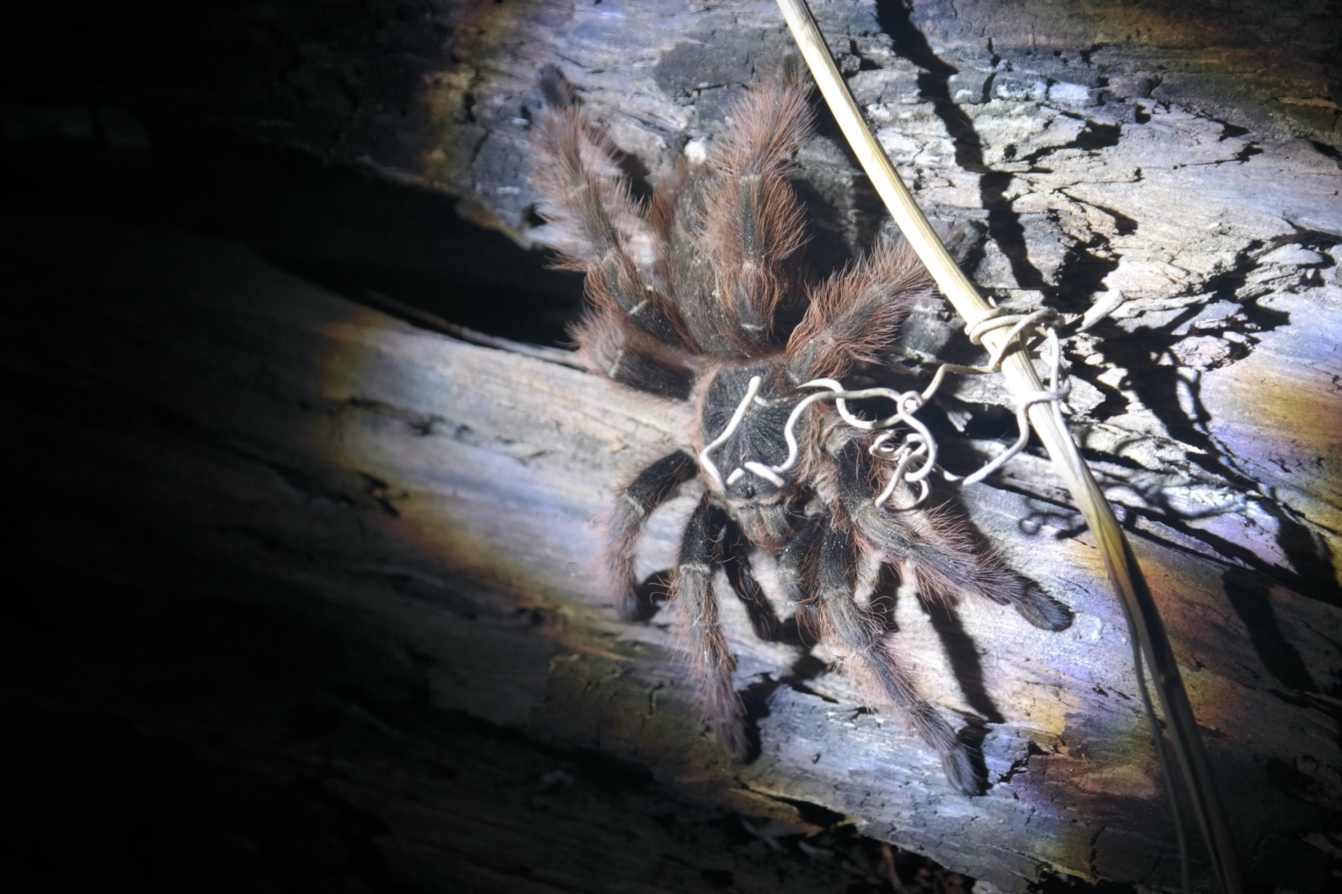 tarantula on some wood