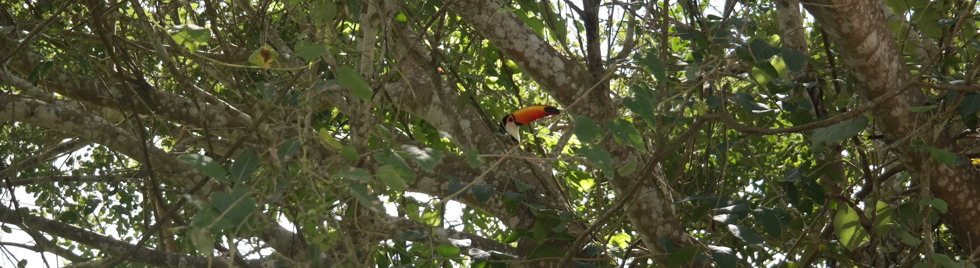 tucan hiding behind a branch