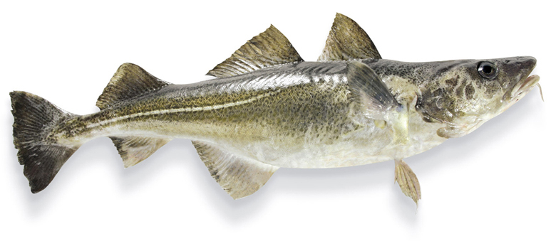 Butter-bei-die-Fische-die-Fakten-zum-Fett-Kabeljau-Magerfisch-Wissen-Fisch-und-Ernaehrung-780x500