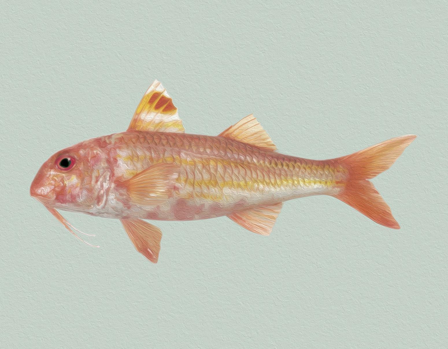 Rote Meerbarbe