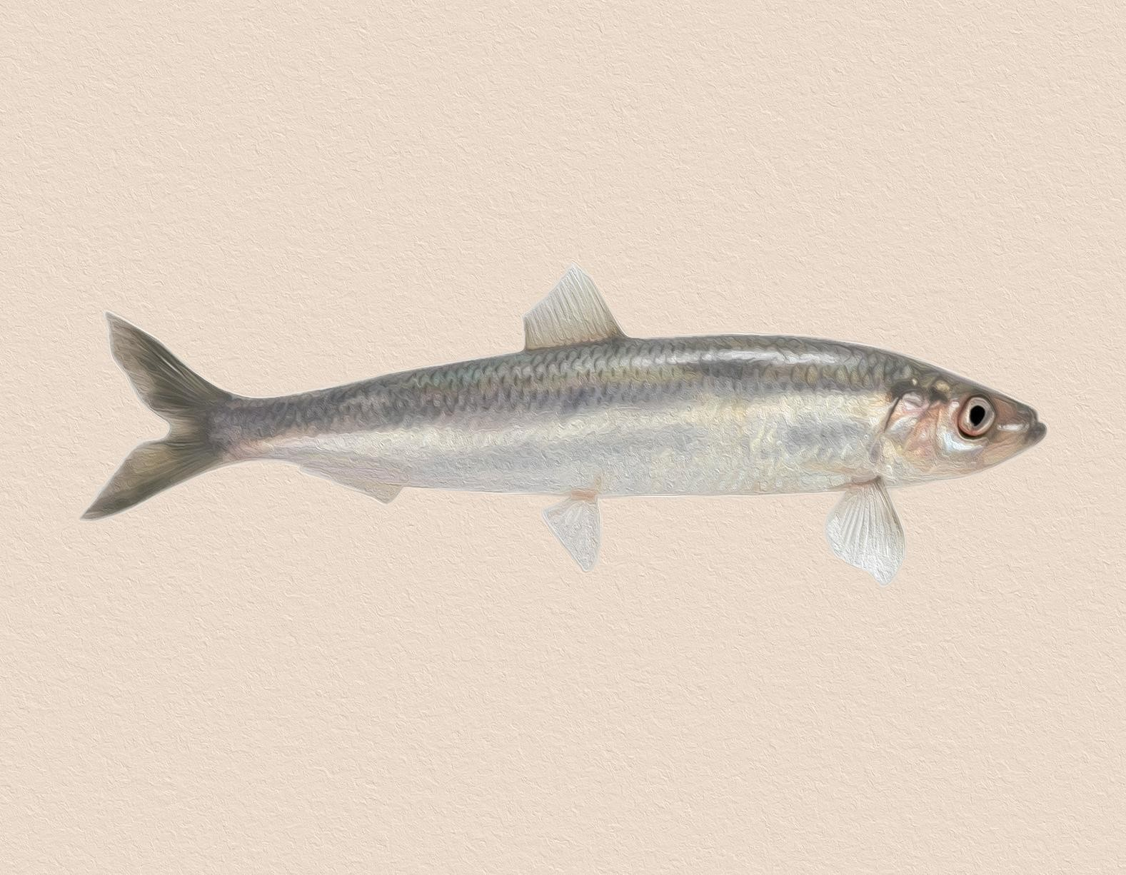 Fischlexikon: Hering