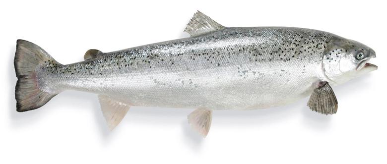 Butter-bei-die-Fische-die-Fakten-zum-Fett-Lachs-Fettfisch-Wissen-Fisch-und-Ernaehrung-780x500