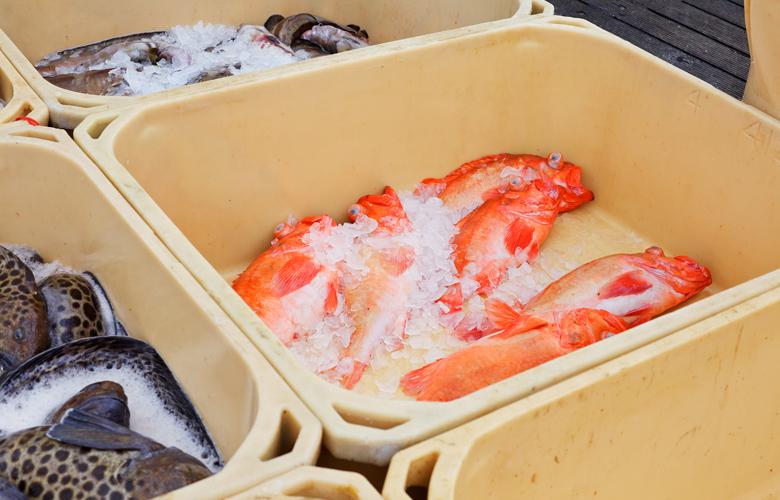 Die-Islaender-zeigen-wie-es-geht-Islands-Fischereimanagement-Rotbarsch-DeutscheSee