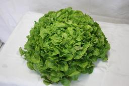 Eichblatt-Salat grün