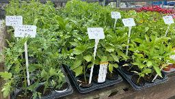 Ochsenherz- Tomate Pflanze